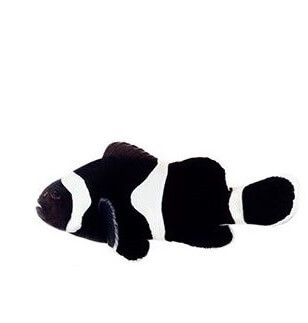 ocellaris black