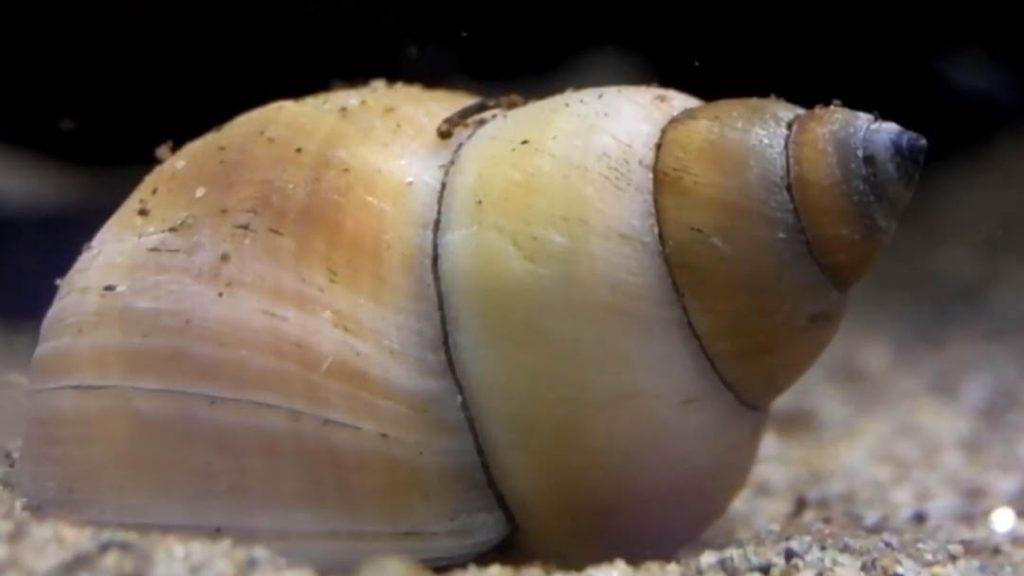 Concha del caracol mago blanco