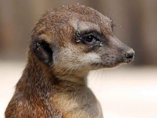 suricata suricatta suricato